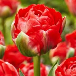 Тюльпан Bombastic Red (1шт.)