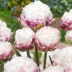 Тюльпан Cotton Candy (1шт.)