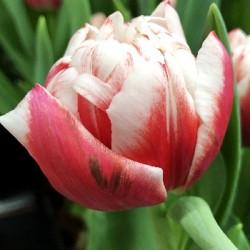 Тюльпан Fulltime (1шт.)