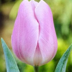 Тюльпан Gabriella (1шт.)