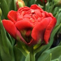 Тюльпан Geneva (1шт.)