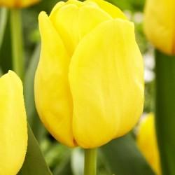 Тюльпан Lobke (1шт.)