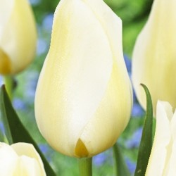 Тюльпан Orleans (1шт.)