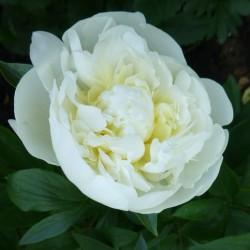 Пион молочноцветковый Duchesse de Nemours (ОКС, 3-5 почек)
