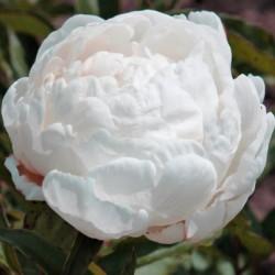 Пион молочноцветковый Gardenia (ОКС, 3-5 почек)