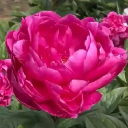 Пион молочноцветковый Jadwiga (ОКС, 3-5 почек)