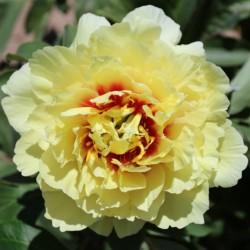 Пион ИТО-гибрид Yellow Crown (ОКС, 3-5 почек)